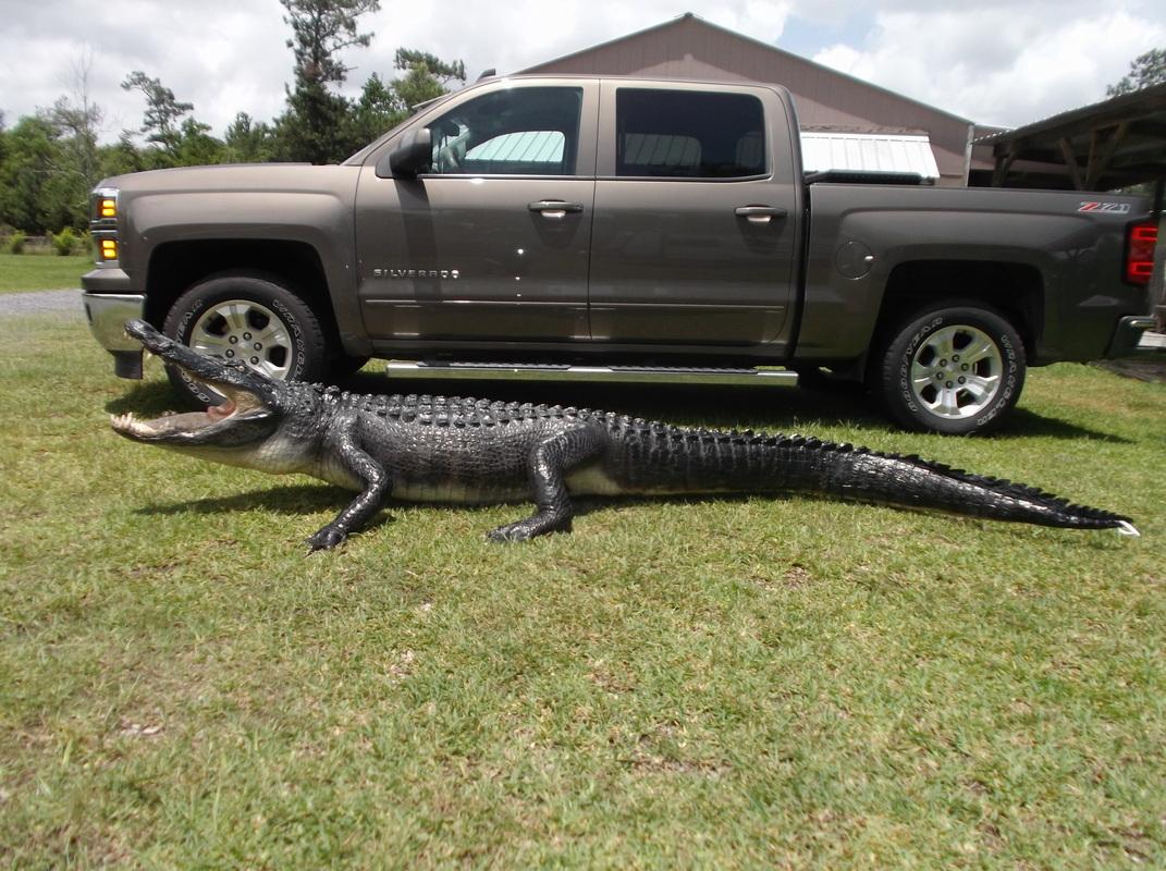 Alligators All Species Taxidermy